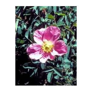 Rosa woodsii Woods Rose Seeds Patio, Lawn & Garden
