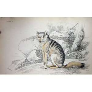 JARDINE c1839 WHITE BARRED AGUARA FOX WILD ANIMAL