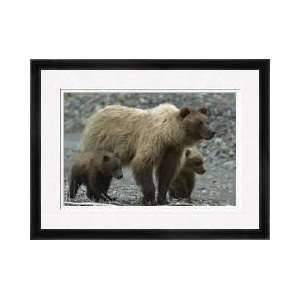 Grizzly Bear And Cubs Tracking Wounded Moose Framed Giclee Print