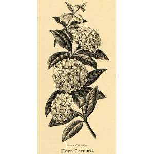 1895 Print Hoya Carnosa Flower Wax Plant Art   Original