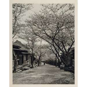 1930 Japanese Village Street Cherry Blossom Trees Japan