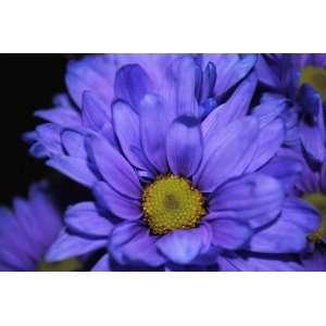 Deep Purple Daisy Flower Photograph