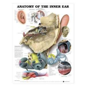 Ear Anatomy Chart   Inner Ear: Industrial & Scientific