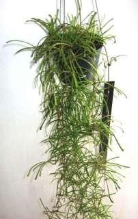 Hoya retusa Exact Plant 1 Pot