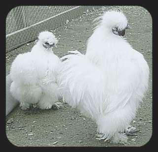 WHITE SILKIE / Fertile Chicken Hatching Eggs / Fluffy / Sweet / NPIP