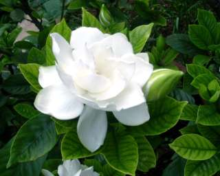 Gardenia + cape jasmine~~~30 nice seeds