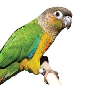 Fancy Green Cheek Conure   Bird   Live Pet