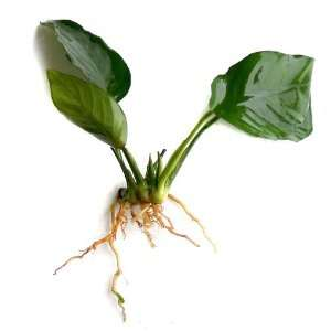 Anubias barteri Nana Live Aquarium Plant Pet Supplies