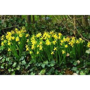 Daffodil February Gold Flower Bulbs   50 Bulbs: Patio, Lawn & Garden