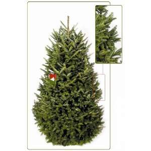 The Christmas Tree Co. Fresh Cut Premium Fraser Fir Christmas Tree 4